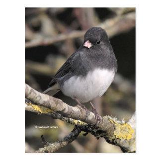 Slate-Colored Dark-Eyed Junco on the Pear Tree Postcard