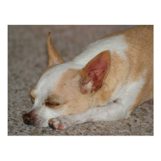 Sleeping Chihuahua Postcard