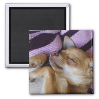 Sleeping Chihuahua Square Magnet