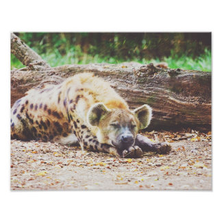 Sleeping Hyena, Wildlife Photography Poster