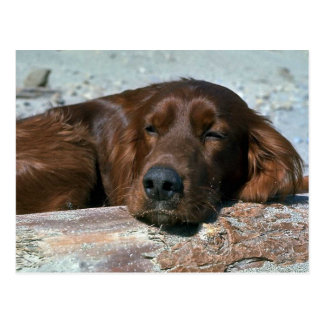 Sleeping Irish Setter Postcard
