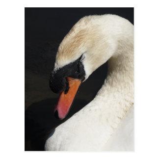 Sleeping Mute Swan Postcard