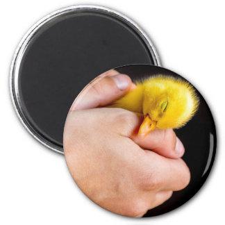 Sleeping newborn duckling in human hands magnet