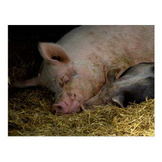 Sleeping pigs postcards
