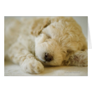 Sleeping Poodle puppy 2 Card