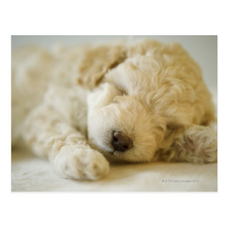 Sleeping Poodle puppy 2 Postcard