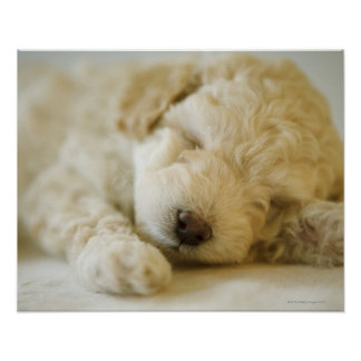 Sleeping Poodle puppy 2 Posters