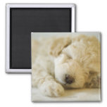 Sleeping Poodle puppy 2 Square Magnet