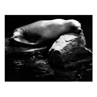 Sleeping Sea Lion .1781 Postcard