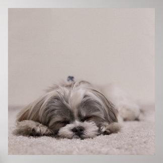 Sleeping Shih tzu Poster, Sleeping Dog Poster