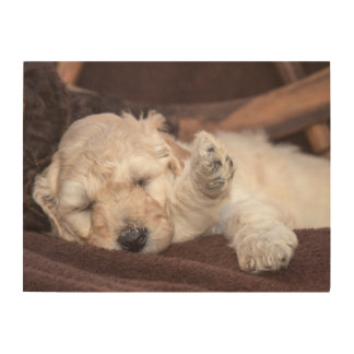 Sleeping Standard Poodle puppy Wood Prints