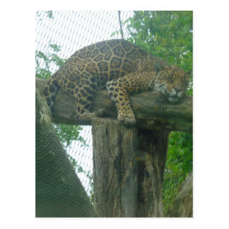 Sleeping Tiger on Tree, Forest, Nature, Wildlife Postcard