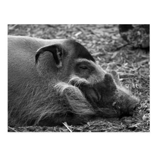 """Sleeping Vietnamese Hog"" Postcard"