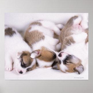Sleeping welsh corgi puppies poster