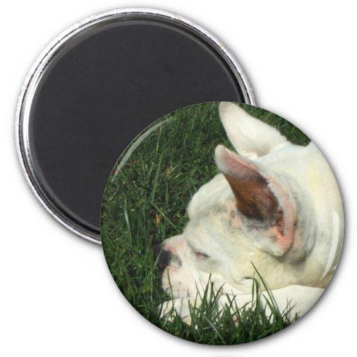 Sleeping white boxer magnet