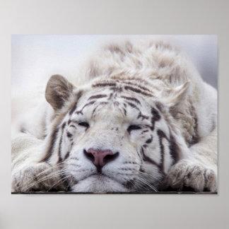 Sleeping White Tiger Poster