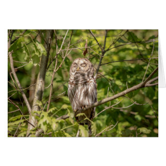 Sleepy Barred Owl Card