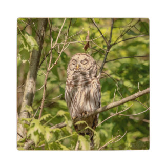 Sleepy Barred Owl Wood Coaster
