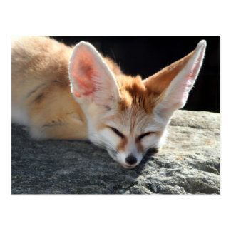 Sleepy Fennec Fox Postcard