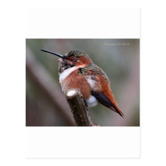 Sleepy Hummingbird Postcard
