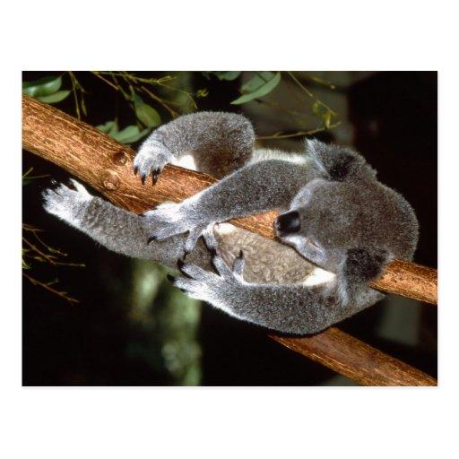 Sleepy Koala Post Cards