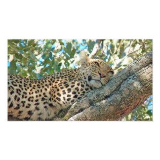 Sleepy Leopard Photographic Print