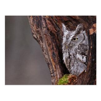 Sleepy Screech Owl Postcard