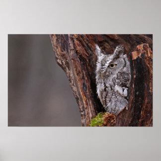 Sleepy Screech Owl Poster