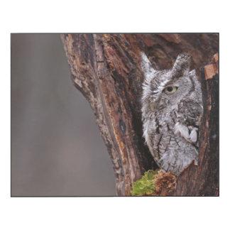 Sleepy Screech Owl