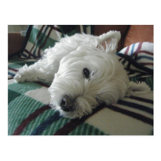 Sleepy Sofa Westie Photo Postcard
