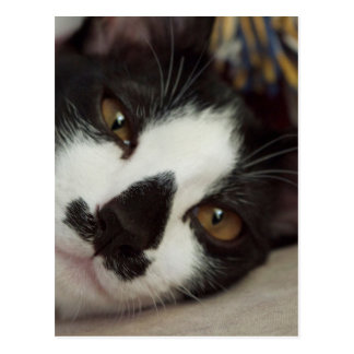 Sleepy Tuxedo Cat Postcard