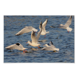 Slender-billed Gulls and Black-headed Gulls Poster