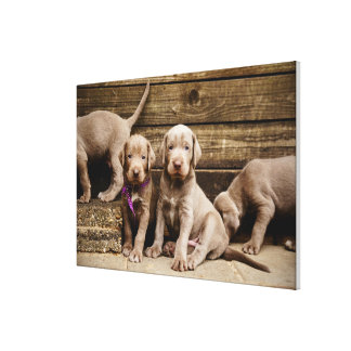 Slovakian Rough Haired Pointer Puppies Stretched Canvas Print