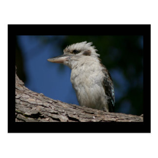 Small kookaburra postcard