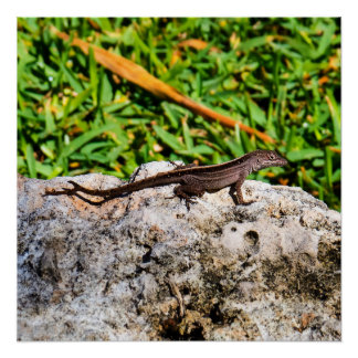 Small Lizard In The Sunlight Poster