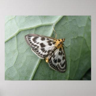 Small Magpie Moth Macro Print
