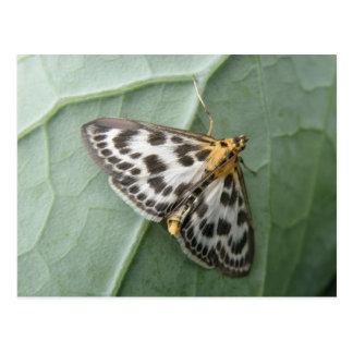 Small Magpie Moth Postcard