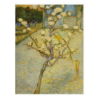 Small pear tree in blossom Postcard