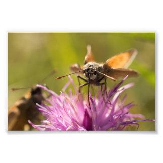 Small Skipper Butterflies Photograph