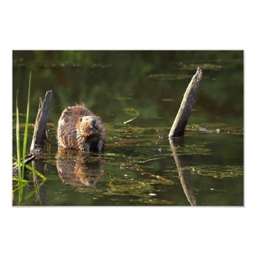 Smiling Beaver Photo