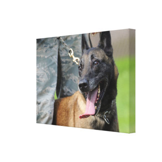 Smiling Belgian Malinois Stretched Canvas Prints