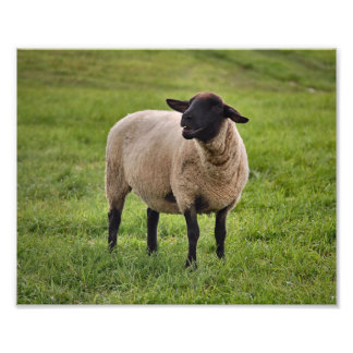 Smiling Sheep Photo Print