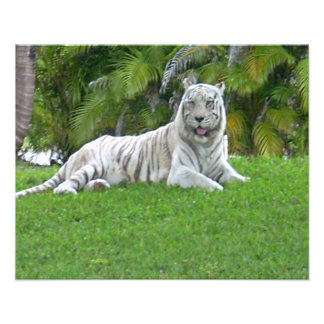 Smiling White Tiger and Palm Trees Photo Art