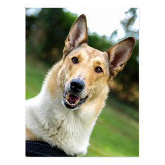Smooth Collie dog beautiful photo postcard