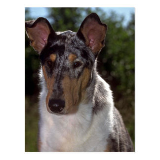 Smooth Collie Postcard