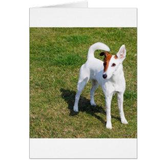 smooth fox-terrier-full card