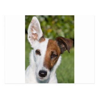 smooth fox-terrier postcard