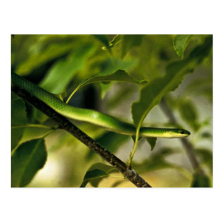 Smooth Green Snake Postcard