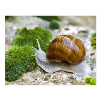Snail of Burgundy Postcard