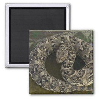 Snake Charmer's African Puff-adder Bitis Square Magnet